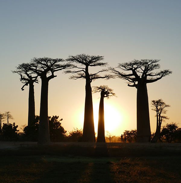 The Avenue of the Baobabs at sunset